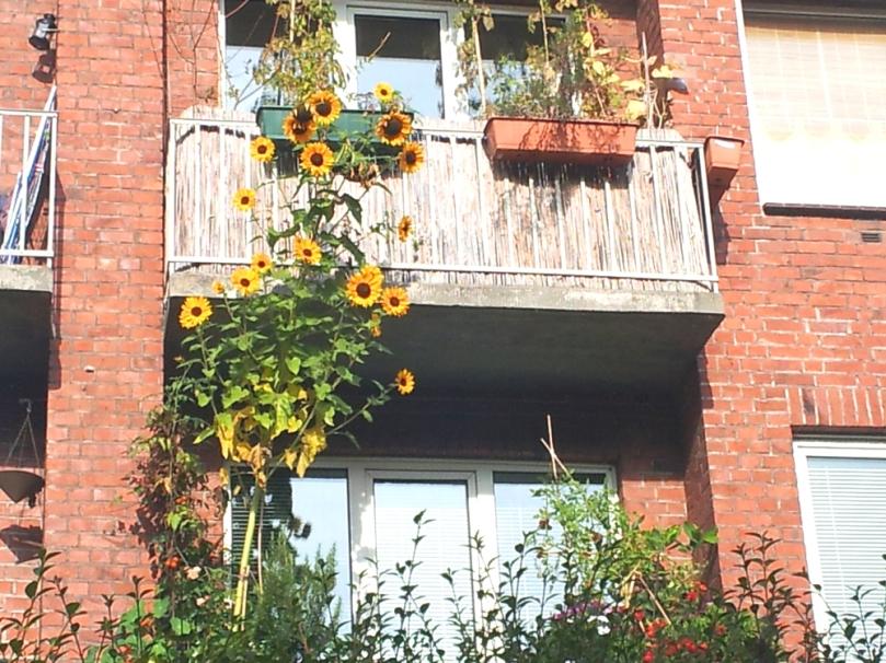 Sonneblumen für zwei